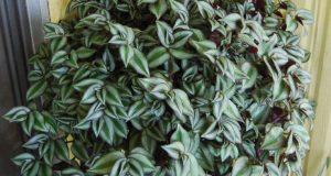 Ампельное растение с полосатыми овальными листьями.