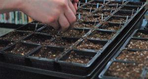 Посев семян в рассадные стаканчики.