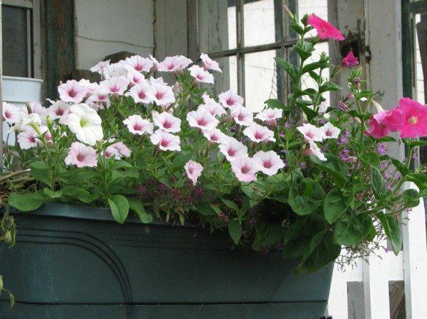 Цветущая петуния на балконе.