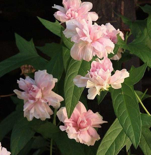 Удивительные махровые цветы покрывают куст с июля до октября.