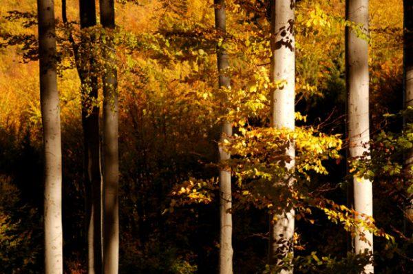 Стройные деревья прекрасны в осеннем уборе.