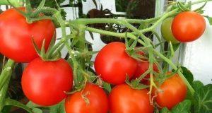 Урожай помидоров черри.
