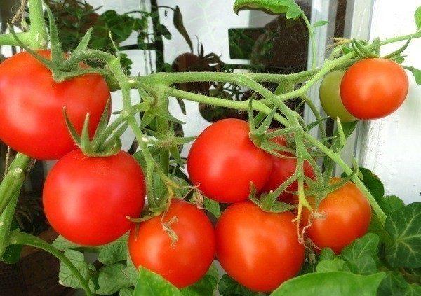 как сажать помидоры на подоконнике