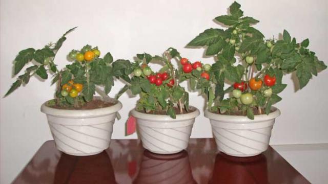 Как вырастить домашние помидоры на подоконнике.
