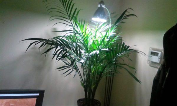 Лампа искусственного освещения, установленная над растением.