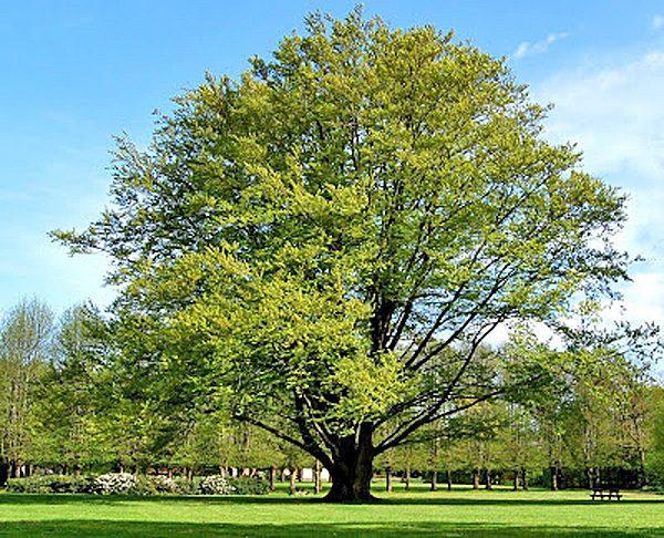 Вековое дерево изумительно смотрится на газоне в парке.