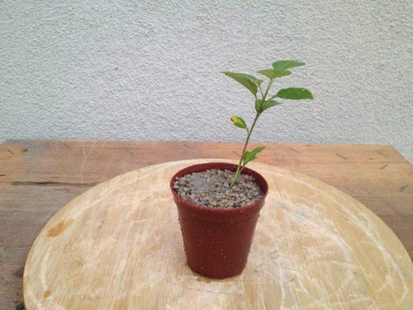 Укорененный черенок растет в субстрате.