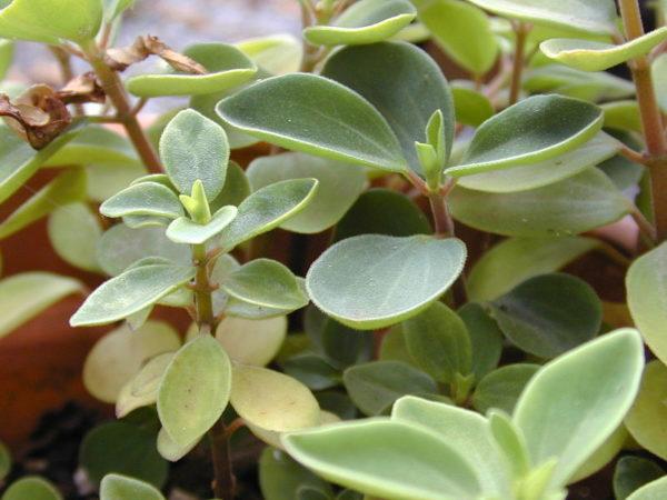 Растение с зелеными листочками.