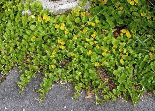 Желтизна листьев.