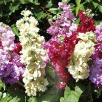 Соцветия маттиолы.