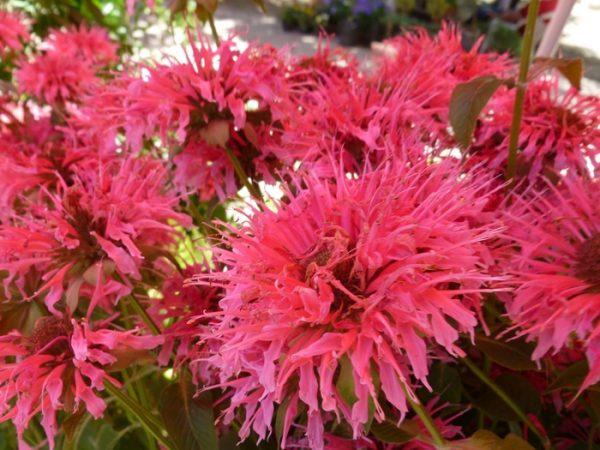 Окраска лепестков варьируется от розовой до темно-пурпурной.