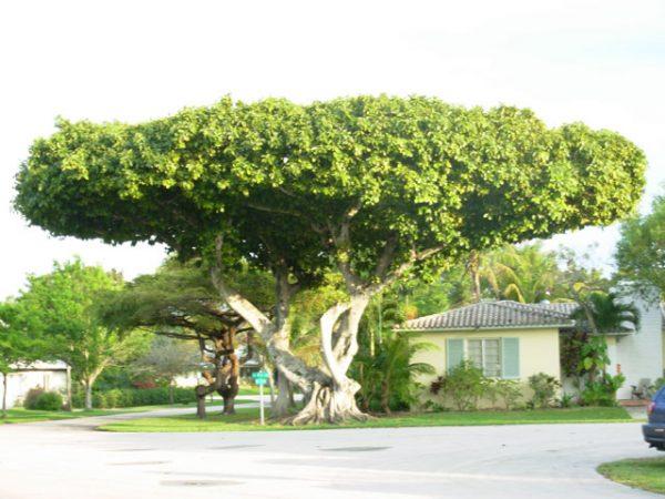 Огромная крона и мощные придаточные корни - так выглядит баньян.