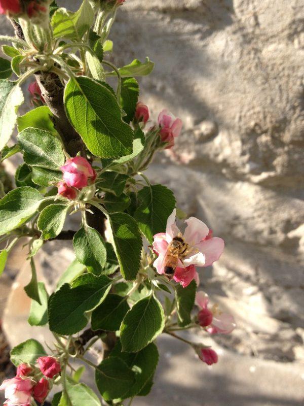 Розовые цветы плодового дерева.