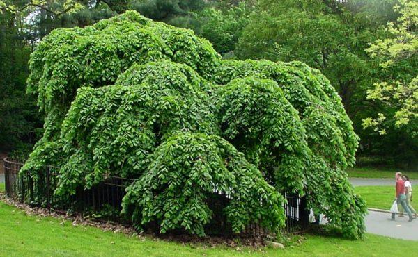 Дерево с поникающими к земле ветвями.
