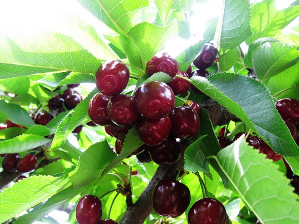 Темные ягоды вишни на ветке.