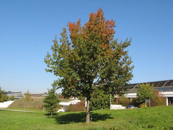 Только к 6-8 годам дерево становится взрослым.