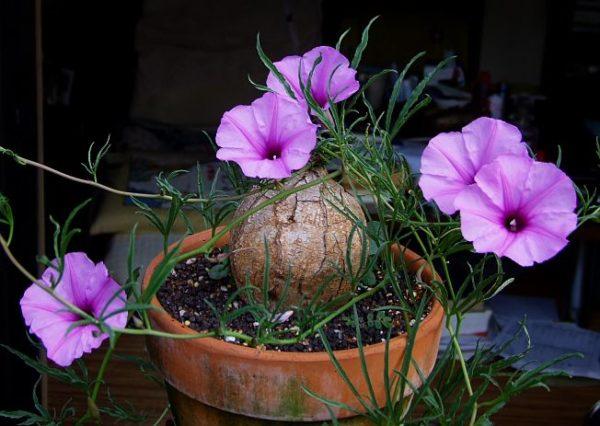 Клубневое цветущее растение.
