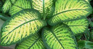Контрастный узор на листьях очен эффектен.