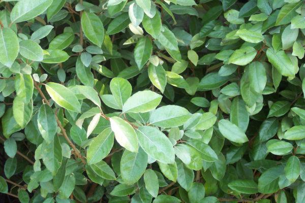Листья зеленого оттенка.