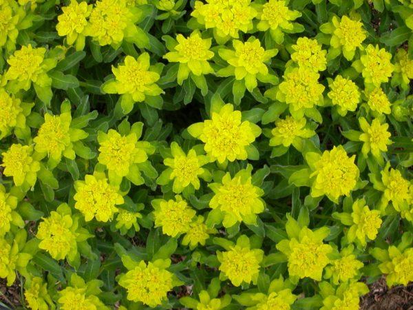 Яркие салатовые цветки и стебли молочая.