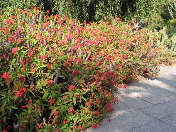 Выращивание молочая в красными соцветиями в саду.