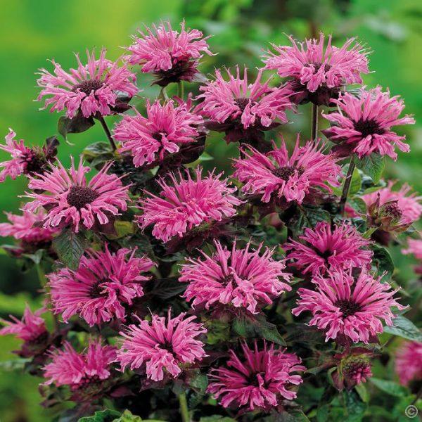 Буйное цветение наступает на третий год выращивания.