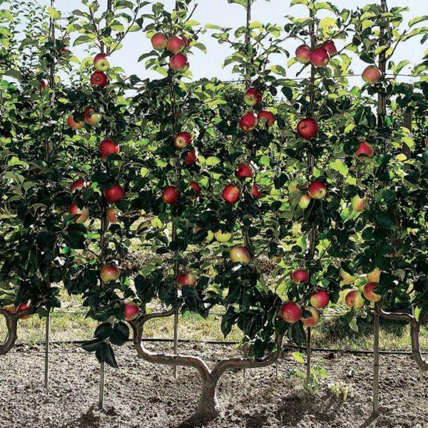 Выращивание плодов на опоре.