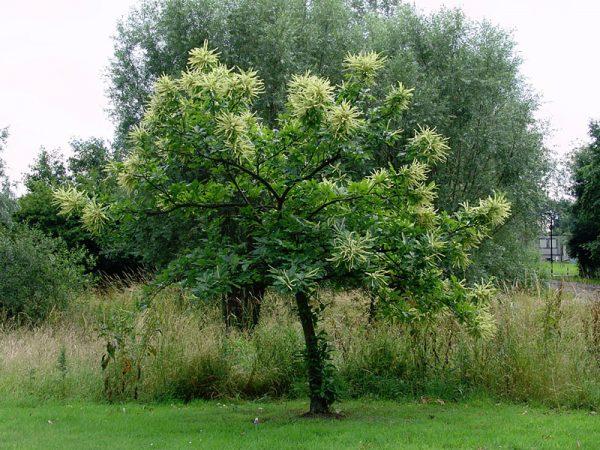 На иллюстрации изображено взрослое дерево в летний период.