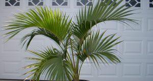 Пальма с веерообразными листьями.