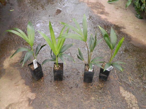 Молодые пальмы в горшках.