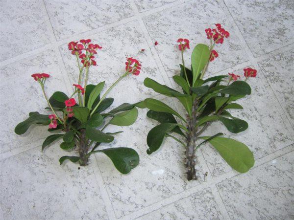 Верхушки растений отрезаны для переукоренения.