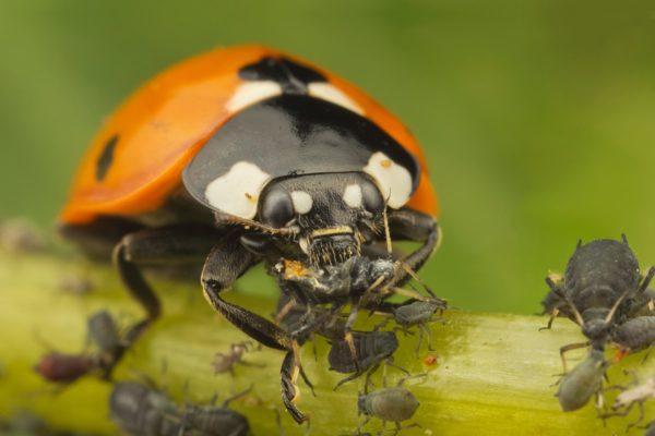 Божья коровка уничтожает насекомых.