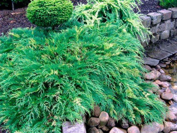 Известно всего два культурных сорта этого растения.