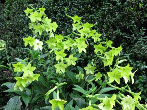Раскидистый куст с зелено-желтыми цветками.