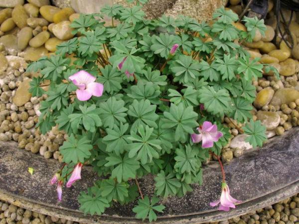 Цветущее растение на камнях.