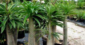 Мадагаскарская пальма.