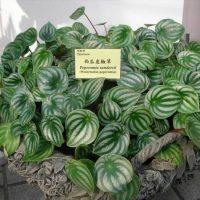 Растение с овальными листьями.