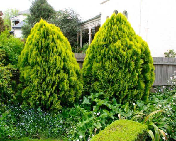 Хвойные деревья растут в открытом грунте.