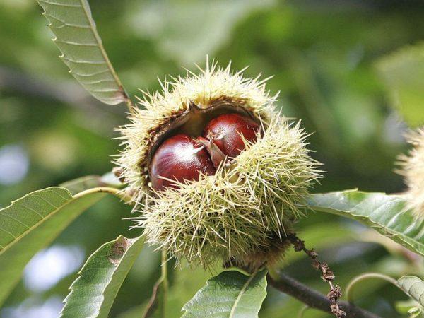 На иллюстрации изображены поспевающие плоды дерева.