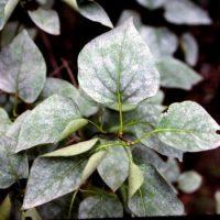 Грибковое заболевание растения.