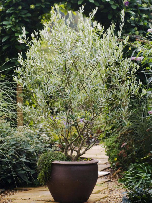 Контейнерное растение на участке.