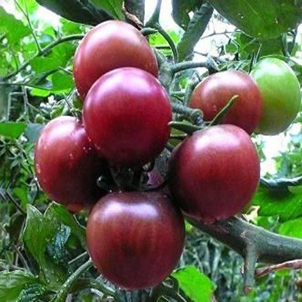 Разные сорта помидоров для комнатного выращивания.