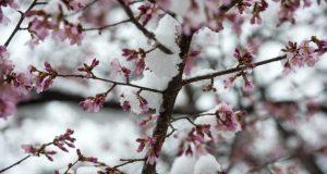 Цветение плодового дерева.