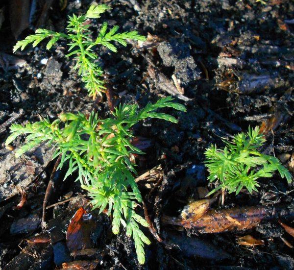 Молоденькие хвойные деревца растут в открытом грунте.