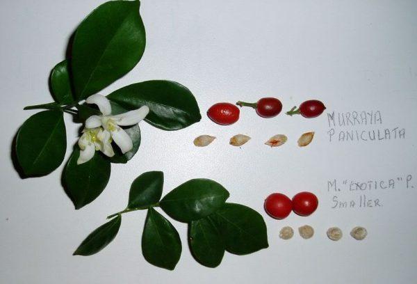 В плодах растения находятся семечки. которые используются для размножения цветка.