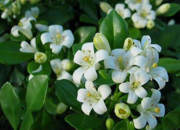 Цветки растения обычно нежно-кремового или белого цвета и собраны в пышные соцветия.