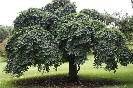 Дерево листопадное с поникающей кроной.