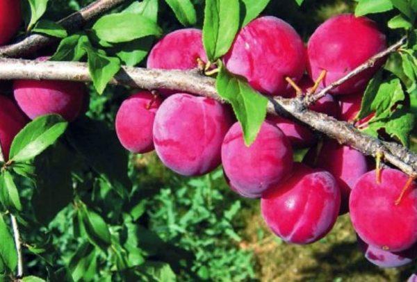 Сорта отличаются вкусом, размером и цветом плодов