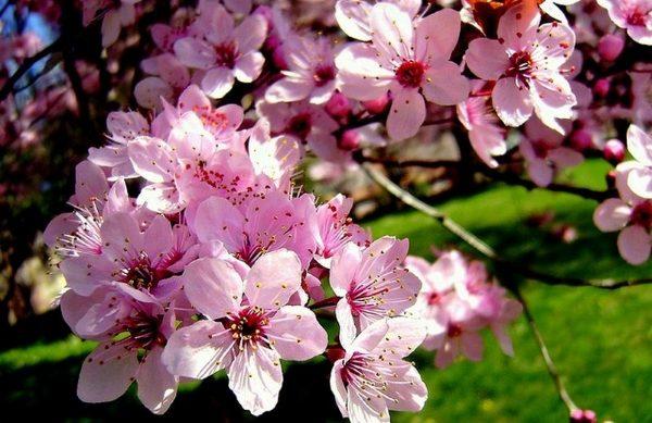 Цветет дерево белыми, розовыми и пурпурными цветами