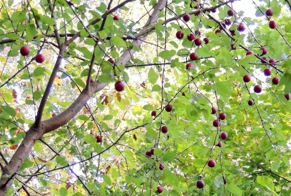 Плоды дикорастущего дерева в основном мелкие